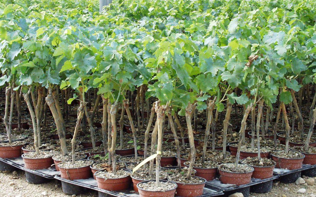 Annonce d'emploi : La Station viticole du BNIC recrute un(e) technicien(ne) viticole en CDI
